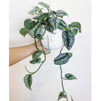 Tanaman hias sirih belanda-tanaman hidup-bunga gantung hidup murah