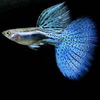 Hiasan Aquarium Guppy Blue Grass Aquascape