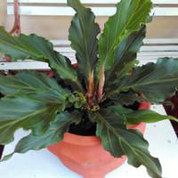 tanaman hias anthurium gelombang cinta / anturium / Real pick