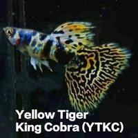 Guppy Yellow Tiger King Cobra TOP Grade