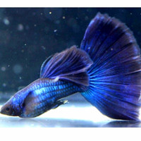 ikan guppy blue diamond sepasang hiasan aquarium aquascape