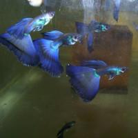 guppy blue diamond ikan hias aquascape air tawar aquarium
