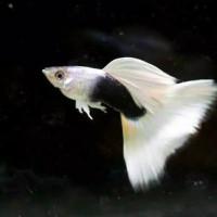 ikan guppy hb white sepasang aquarium