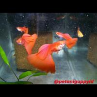 hiasan aquarium Ikan guppy Albino Full Red
