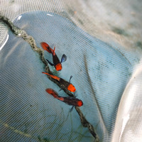 Hiasan Aquarium Ikan Guppy Koi Tuxedo