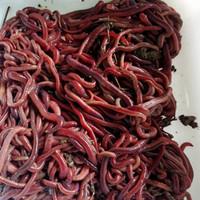cacing tanah hidup 1/2 kg