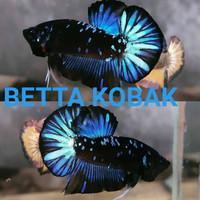 ikan cupang Avatar Gordon, vampir, Black series