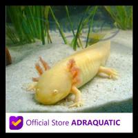 Sedang Diskon Axolotl Golden Gold Dogfish Salamander Walking Fish Air