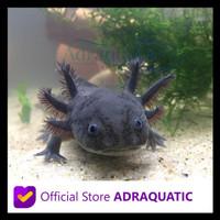 Sedang Diskon Axolotl Hitam Full Black Melanistic Melanoid Dogfish
