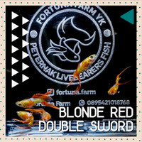 Ikan Guppy Blonde Red Sunset Double Sword (Fortuna Farm)