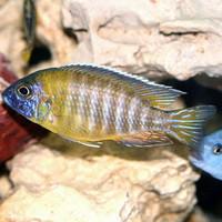 Ikan Hias Cichlid Aulonocara Baenschi