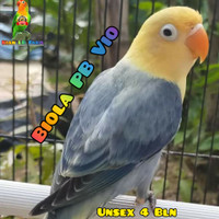 Lovebird Biola PB Vio baby