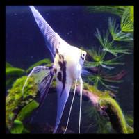 Sedang Diskon Ikan Hias Manfish Slayer Marble, Tiger, Platinum Ukuran