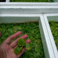 Amazon Frogbit Tanaman Air Kolam Breed Cupang Aquarium Guppy