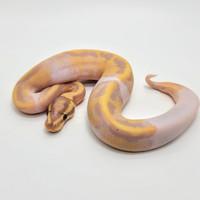 ballpython banana pied male import
