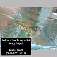 ikan hias gupy/ guppy/gapi sword lace double tail
