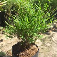 bibit tanaman bambu mini atau mikro