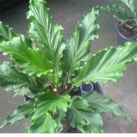 jual tanaman hias Antorium gelombang cinta besar