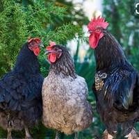 Ayam kampung hidup 1,5 kg