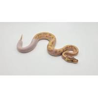 ball python banana pied / ballpython pied banana