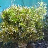 Aksesoris aquarium Blyxa Japonica tanaman aquascape Blyxa Japonica