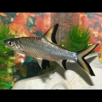 Ikan Bala Shark (IKAN HIAS)