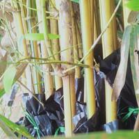 tanaman hias bambu kuning mini bibit