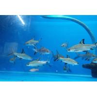 Ikan Bala Shark Predator