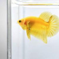 Ikan Cupang Yellow Banana + BONUS PAKAN !!!