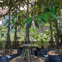 Bibit tanaman durian Namlung kaki 10 tinggi 150Cm