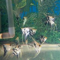 ikan hias manfish batik per 6 ekor
