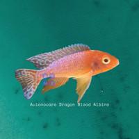Aulonocara Dragon Blood Albino - 08dd