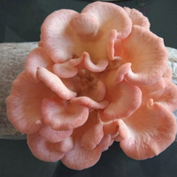 Baglog Rose Oyster mushroom siap panen