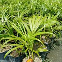 tanaman hias pohon palem kuning