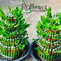 Tanaman hias bambu Cina / pohon Bambu hoki 20 cm + pot