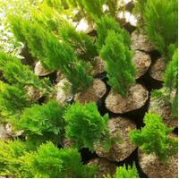 Bibit tanaman cemara kipas pohon hias
