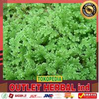 Tanaman Air - Azolla Microphylla