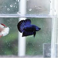 Ikan Cupang Royal Blue Black Light Startail