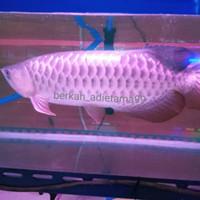 Ikan Hias Arwana Golden Red Jumbo / Arowana GR Jumbo