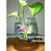 aquarium pot mini kaca set( free ikan hias)