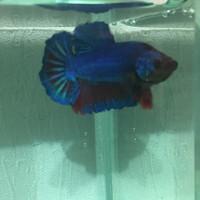 cupang royal blue
