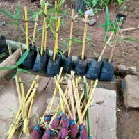 bibit bambu kuning penangkal setan