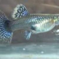 ikan hias guppy prmbe indukan