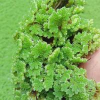 azolla microphylla bibit 200gr
