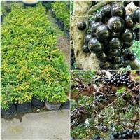 bibit anggur pohon brazil preco manis 40 cm