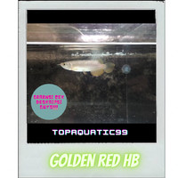 ikan arowana golden red HB 17-18cm chip+sertifikat berkualitas