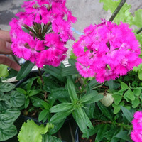 bibit tanaman hias gantung dianthus / anyelir mini pink agak ungu