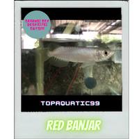 ikan arwana red banjar 10/11cm