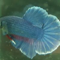 Ikan cupang hias kontes, Giant Royal Blue (pair), cukup untuk breed