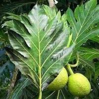 Daun sukun basah / kering | obat herbal jantung diabetes